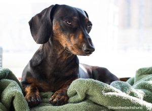 Dachshund with Disc Herniation Helped by Chiropractic - Autin Chiropractor Stars Celebrity Care